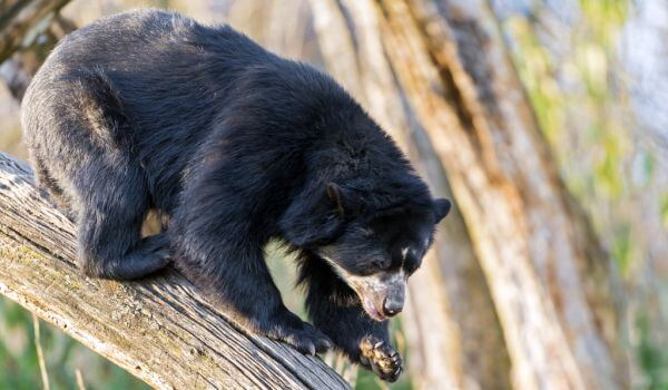 Фото: Очковый медведь Красная книга