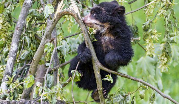Фото: Детеныш очкового медведя