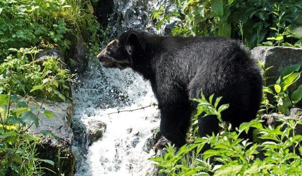 Фото: Очковый медведь из Южной Америки