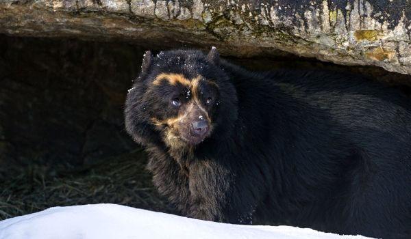 Фото: Очковый медведь животное
