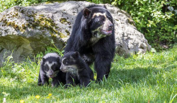 Фото: Очковый медведь Южная Америка