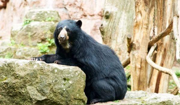 Фото: Очковый медведь из Красной книги