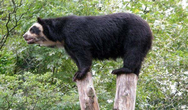 Фото: Очковый медведь