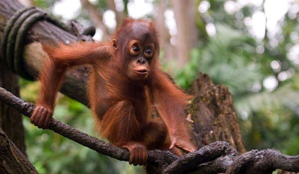 Фото: Детеныш орангутана