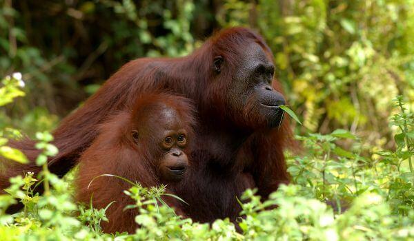 Фото: Животное орангутан