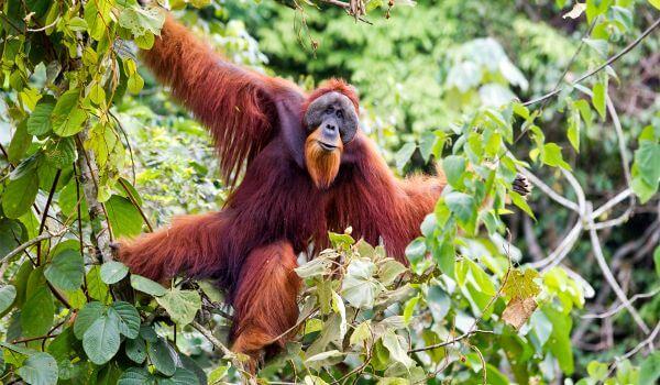 Фото: Орангутан Красная книга