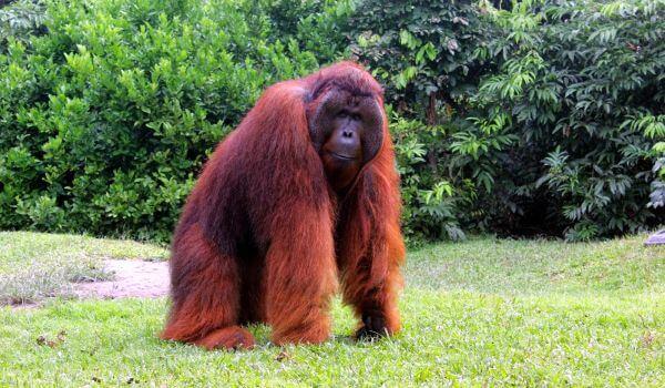 Фото: Орангутаны Индонезии