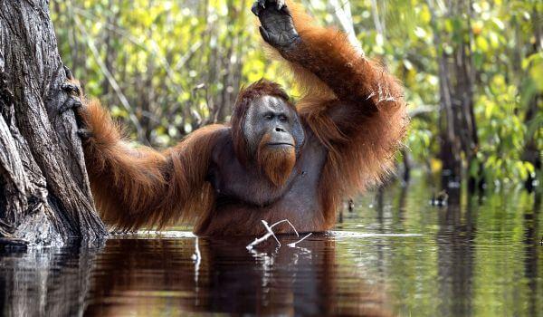Фото: Обезьяна орангутан