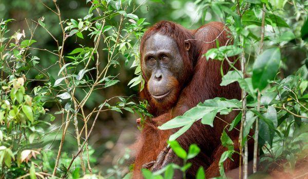 Фото: Орангутан животное