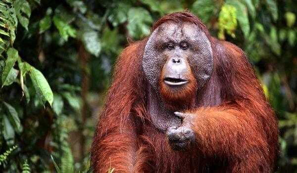 Фото: Самец орангутана