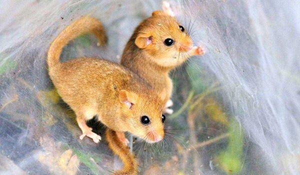 Фото: Животные орешниковые сони