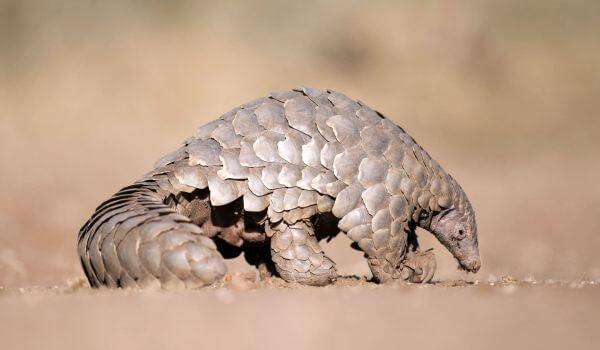 Фото: Панголин животное