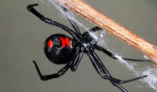 Фото: Животное черная вдова