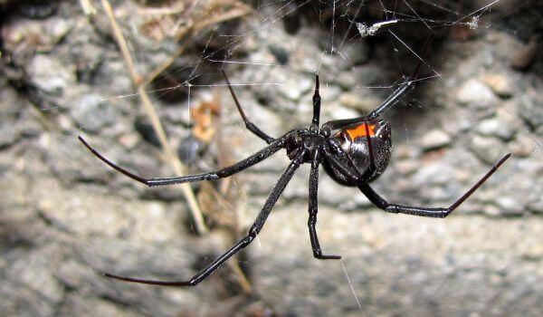 Фото: Ядовитый паук черная вдова
