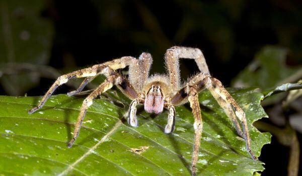 Фото: Бразильский паук солдат