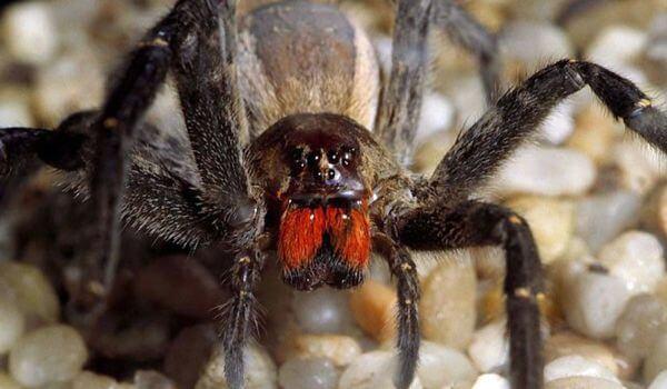 Фото: Животное паук солдат