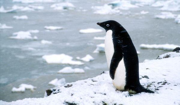 Фото: Пингвин адели