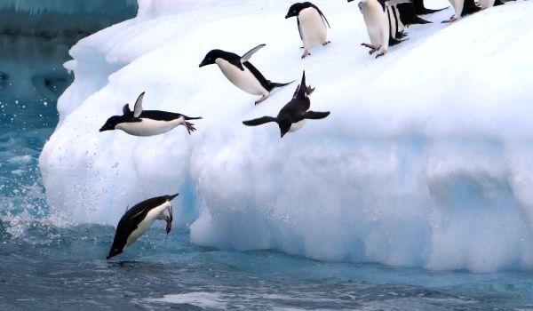 Фото: Пингвины адели животные