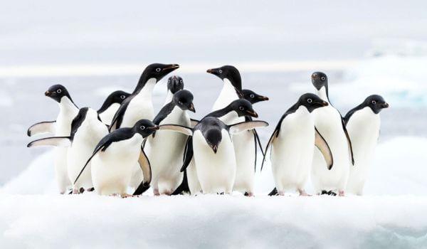 Фото: Птицы пингвины адели