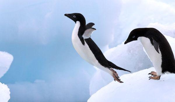 Фото: Птица пингвин адели