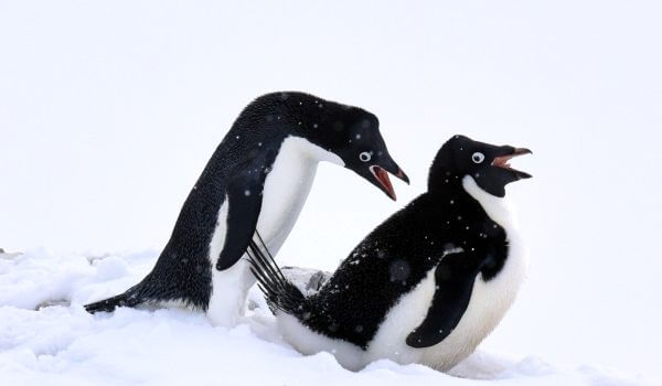 Фото: Пингвины адели в Антарктиде