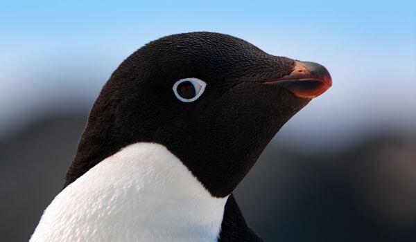 Фото: Пингвин адели животное