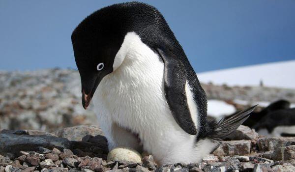 Фото: Самка пингвина адели