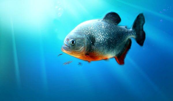 Фото: Пиранья под водой