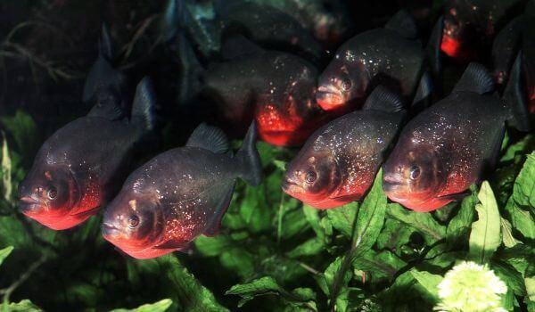Фото: Рыбы пираньи