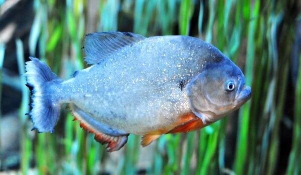 Фото: Рыба пиранья