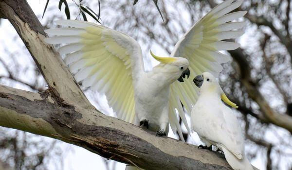 Фото: Попугаи какаду