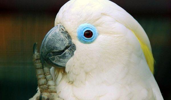Фото: Птица попугай какаду