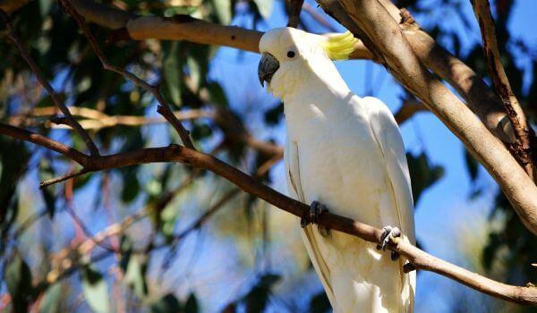Фото: Попугай какаду Красная книга