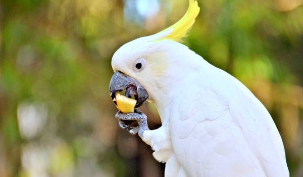 Фото: Белый попугай какаду