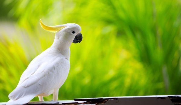 Фото: Попугай Какаду