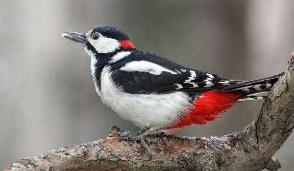 Фото: Птица пёстрый дятел