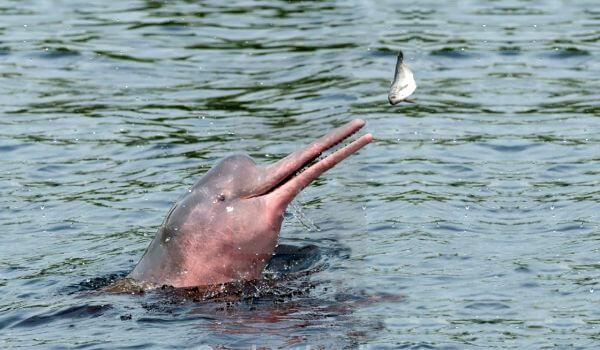 Фото: Речной дельфин