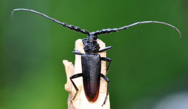 Фото: Реликтовый дровосек насекомое