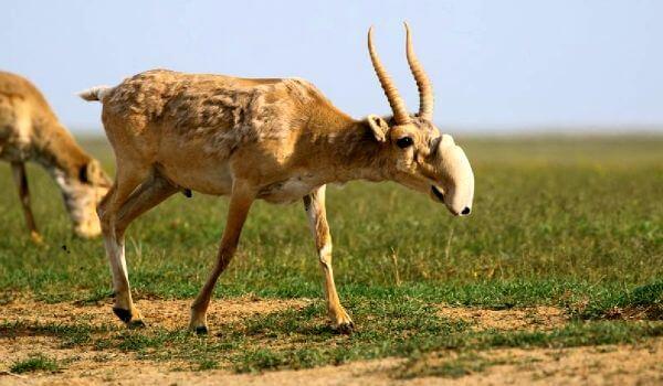 Фото: Животное сайгак