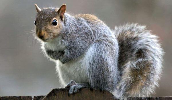 Фото: Серая белка животное