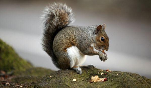 Фото: Животное серая белка