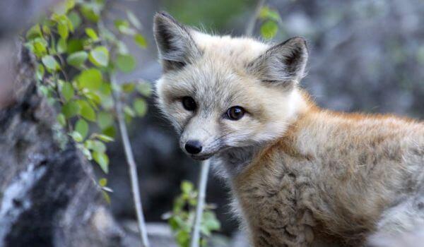 Фото: Детеныш серой лисицы