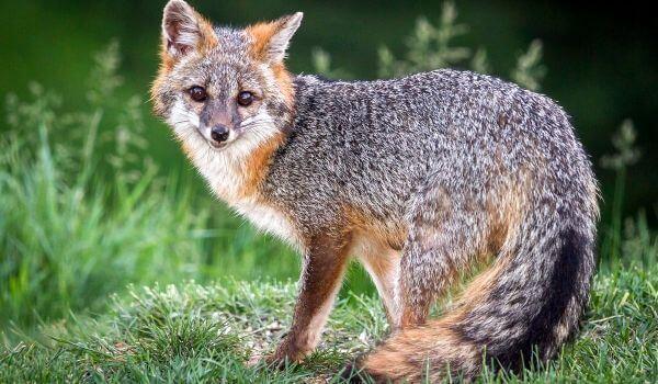 Фото: Серая лисица животное
