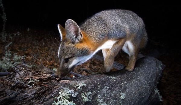 Фото: Серая лисица