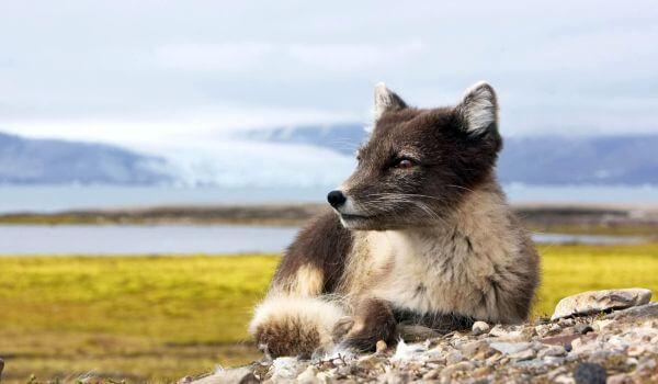 Фото: Серая лисица в Северной Америке