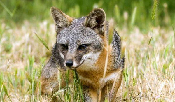 Фото: Животное серая лисица