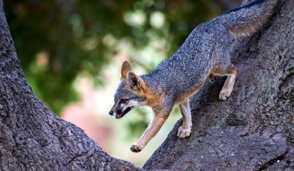 Фото: Серая лисица на дереве