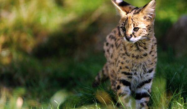 Фото: Кот сервал