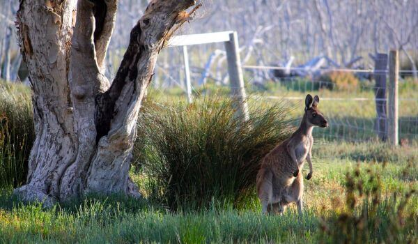 Фото: Серый кенгуру Австралия