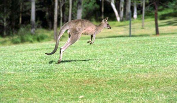 Фото: Западный серый кенгуру